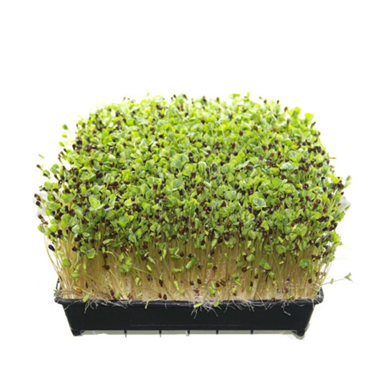 buckwheat-sprouts-microgreens