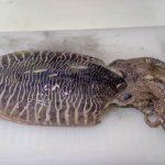 大きな「甲イカ(コブシメ)」を買って刺し身で食べてみた